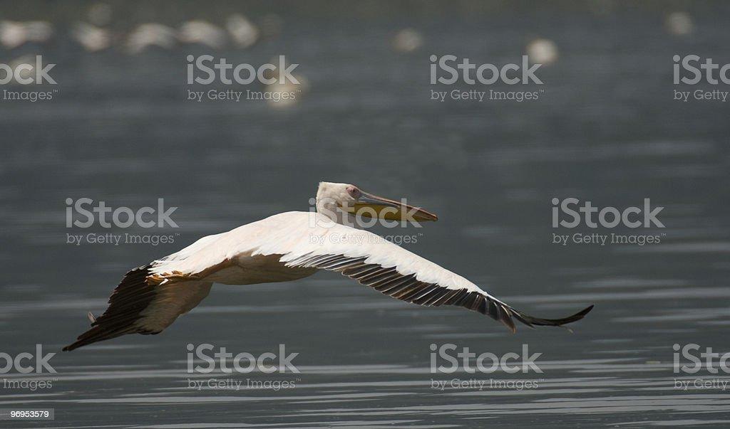Pelican (Pelecanus) in flight, Lake Nakuri, Kenya. royalty-free stock photo