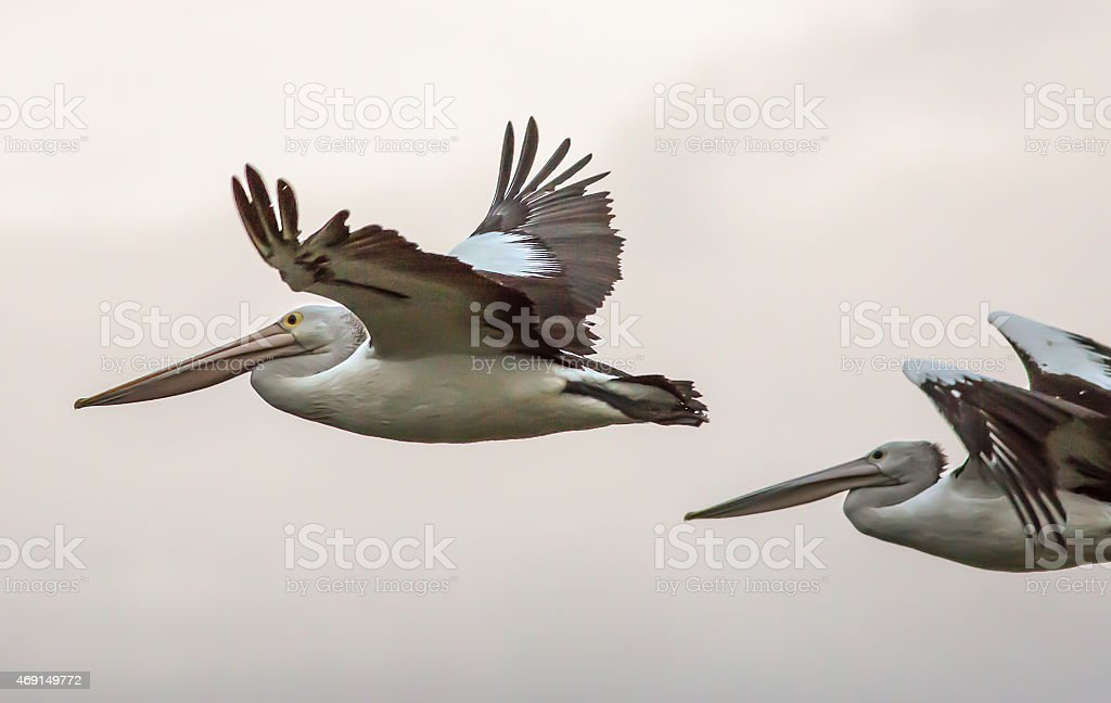 Pelican in flight with sky background stock photo