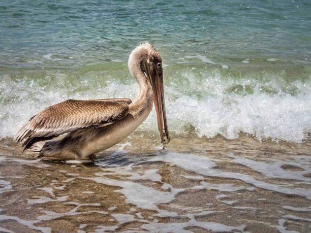Pelikan in Fort de France – Foto