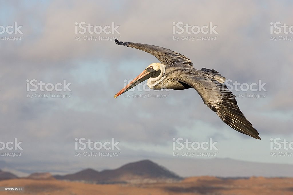 Pelican in Galapagos - Royalty-free Animal Body Part Stock Photo
