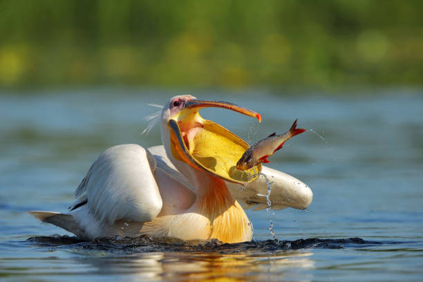 pelican (pelecanus onocrotalus) in natural habitat - wildlife reserve stock pictures, royalty-free photos & images