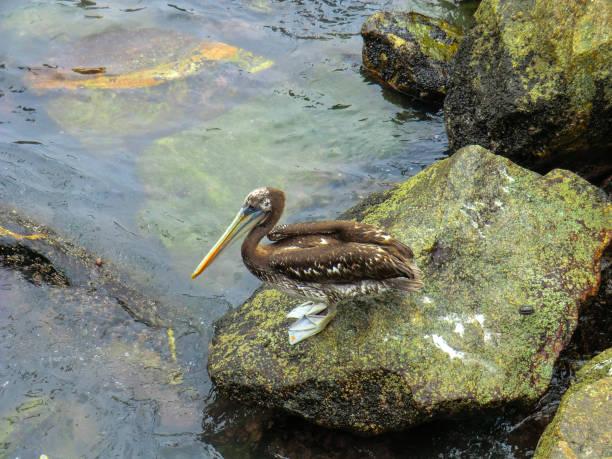 Pelican im chilenischen Hafen San Antonio – Foto