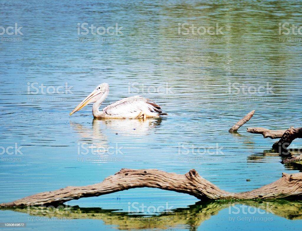 Pelican dans le lac - Photo