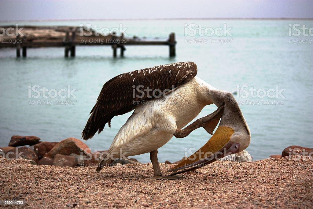 Pelican en Walvis Bay, Namibia, al mar foto de stock libre de derechos