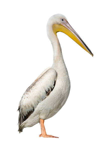 pelican isolated on white - пеликан стоковые фото и изображения