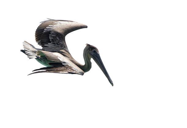 пеликан изолирован на белом - пеликан стоковые фото и изображения