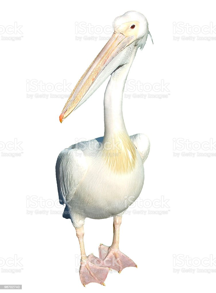 Pelican isolated royalty-free stock photo