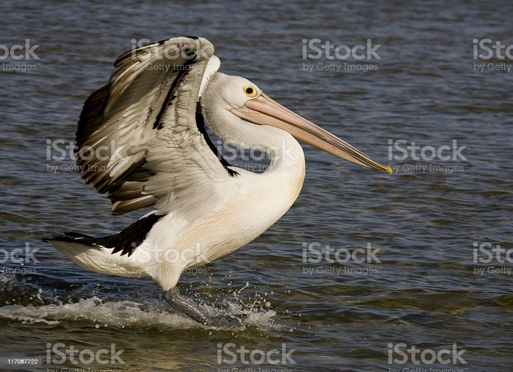 pelican landing royalty-free stock photo
