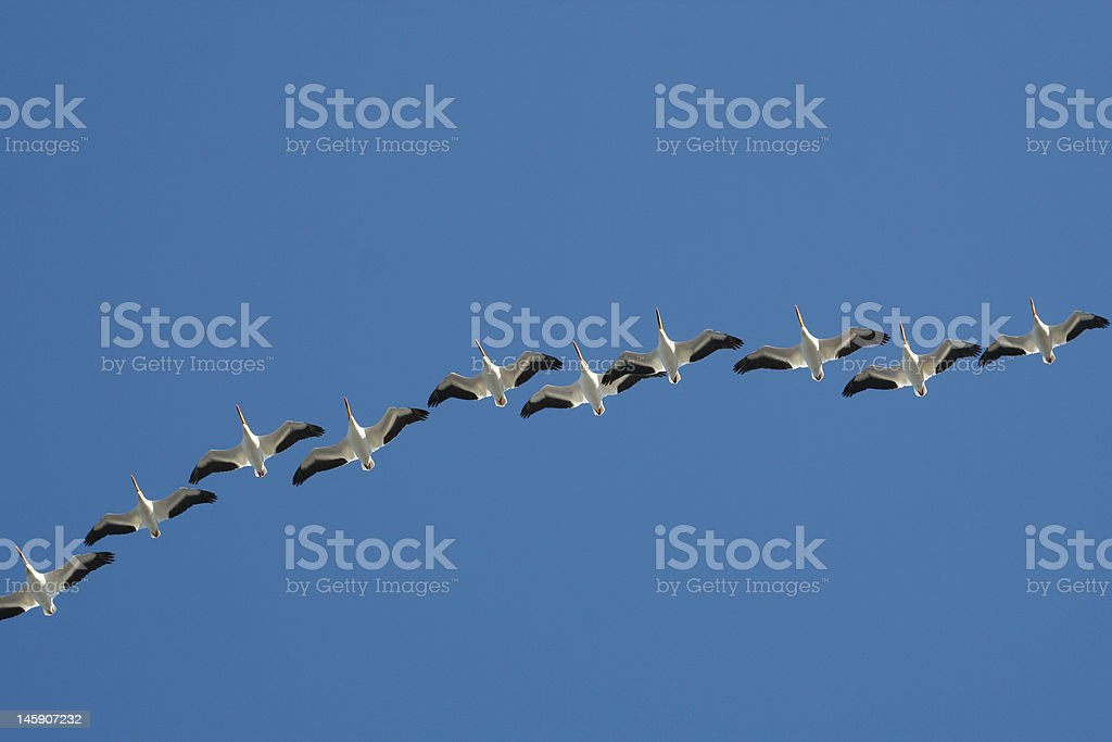 Pelican Migration royalty-free stock photo