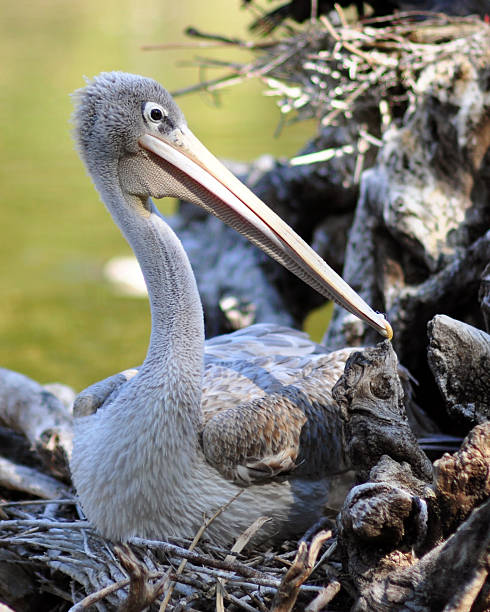 Pelican Nest stock photo