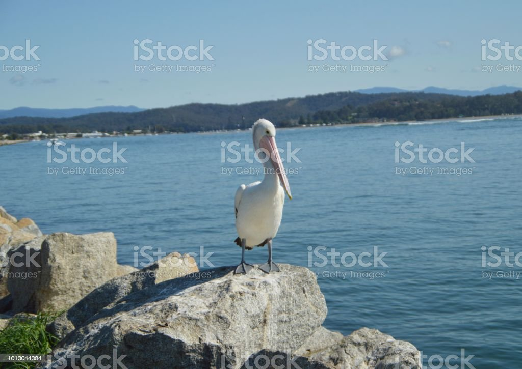 Pelican on a rock stock photo