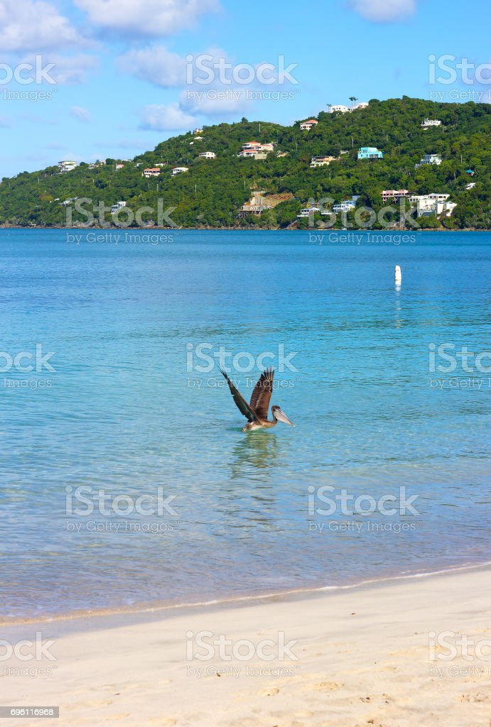 Pelican on a sea surface of Magens Bay beach on St Thomas Island, US VI. stock photo
