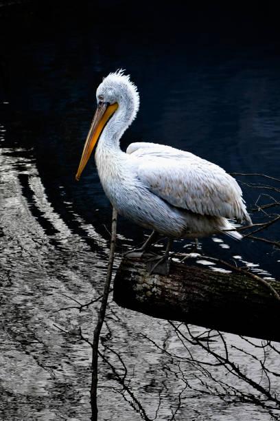Pelikan auf einem Baumstumpf – Foto