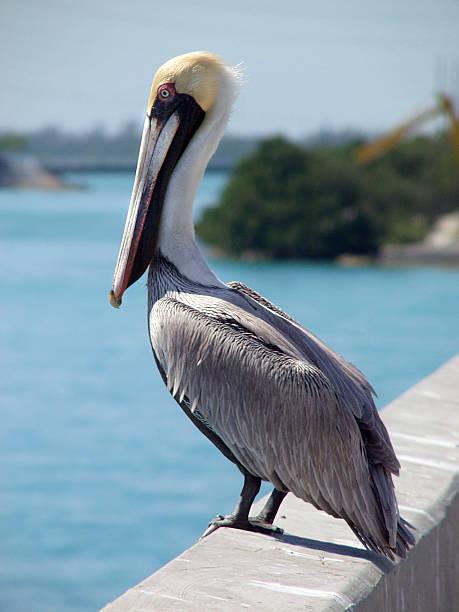 Pelican on Bridge stock photo