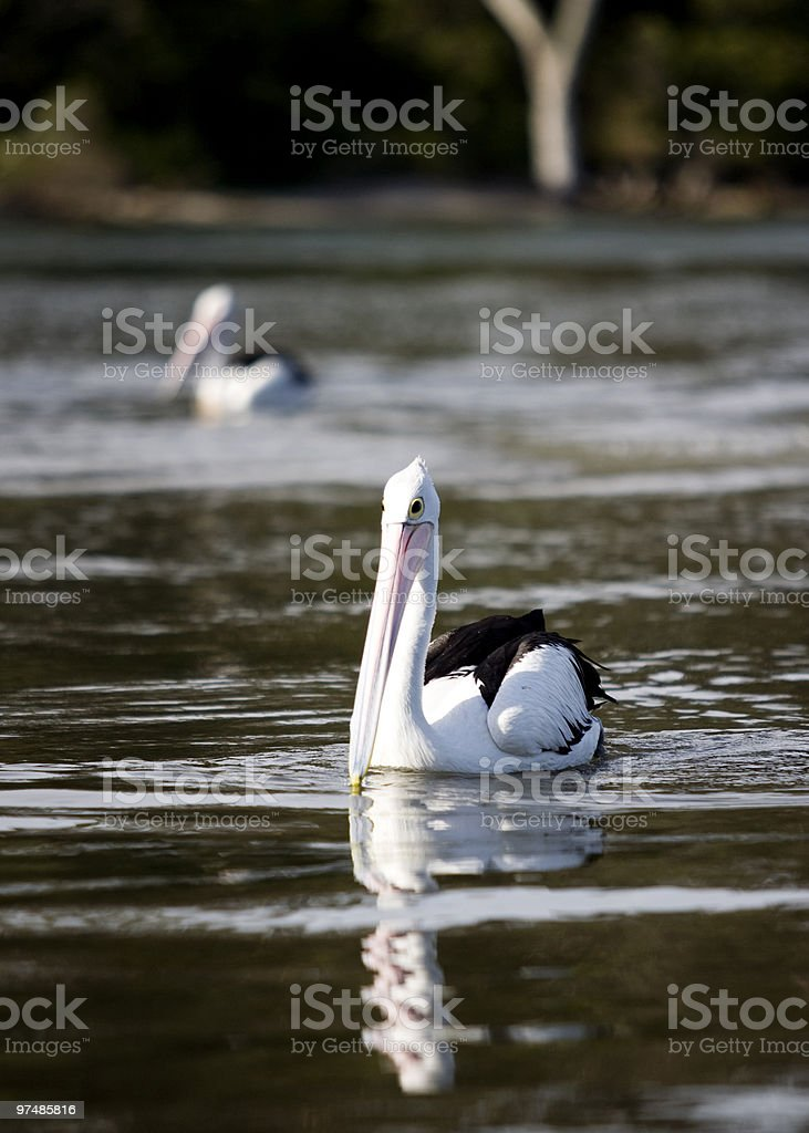 Pelican on the river royalty-free stock photo