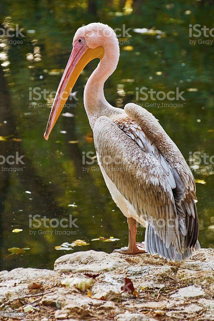 Pelican on the Rock stock photo