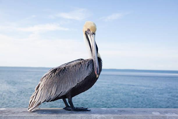 пеликан на мост семь миль - пеликан стоковые фото и изображения