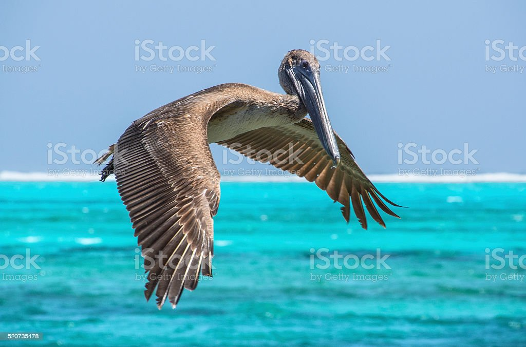 Pelican over turquoise water stock photo
