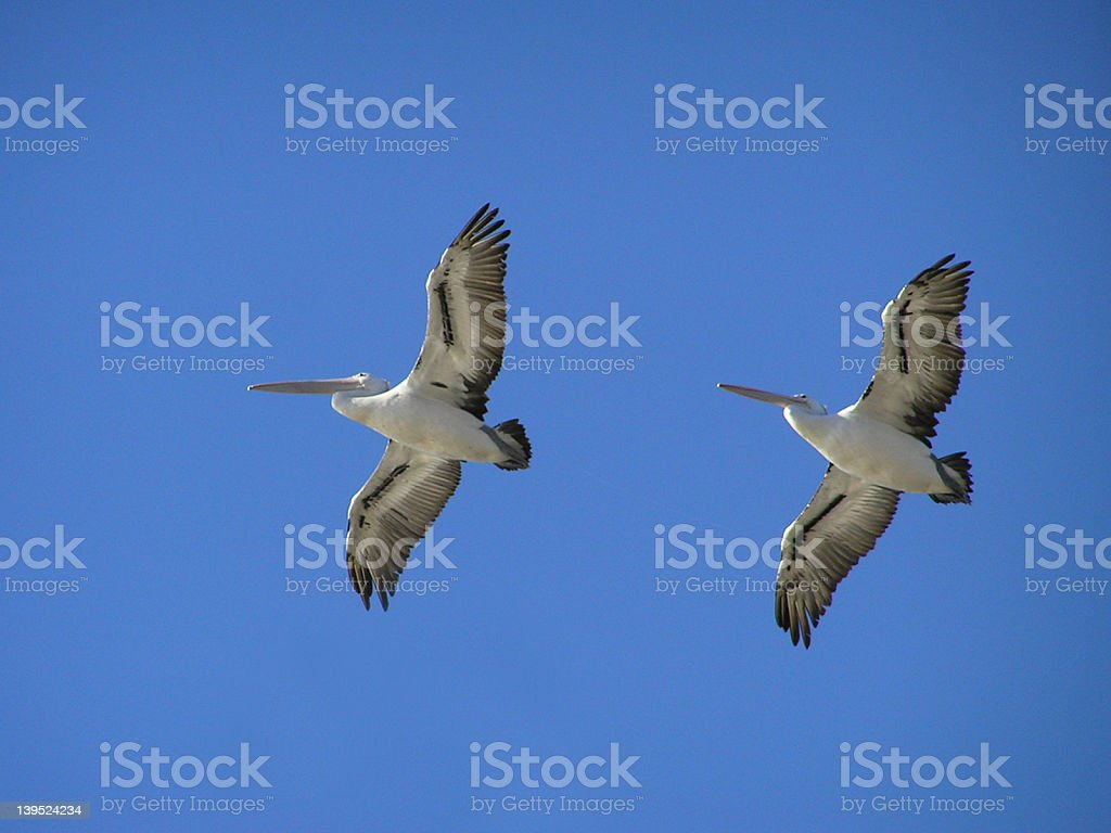 Pelican Pair in Flight royalty-free stock photo