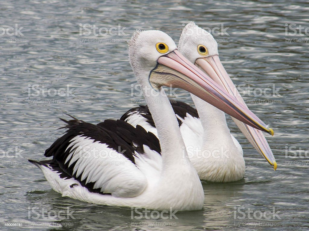 Pelican Pair royalty-free stock photo