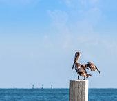 pelican flying in the caribean