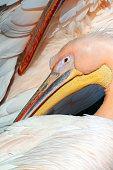 Nauaufnahme eines Pelikans
