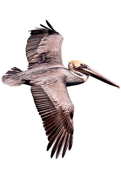 пеликан - пеликан стоковые фото и изображения