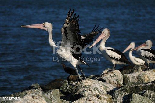 A pelican taking flight from a rock on  beach in Toorbul, Queensland, Australia