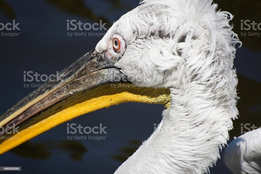 Pelican (Pelecanidae) royalty-free stock photo