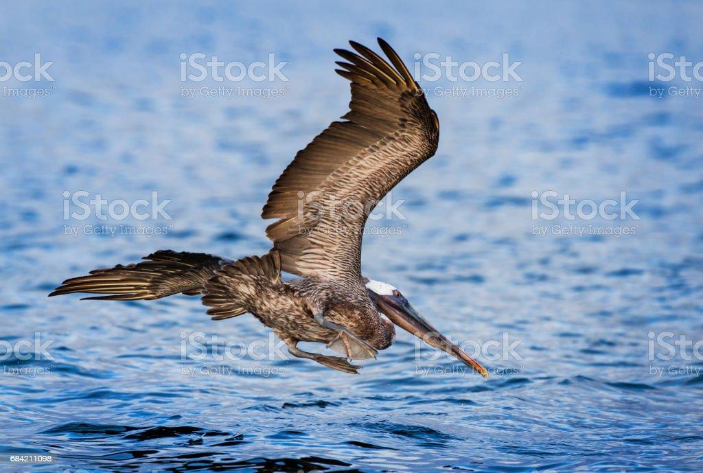 Pelican royalty-free stock photo