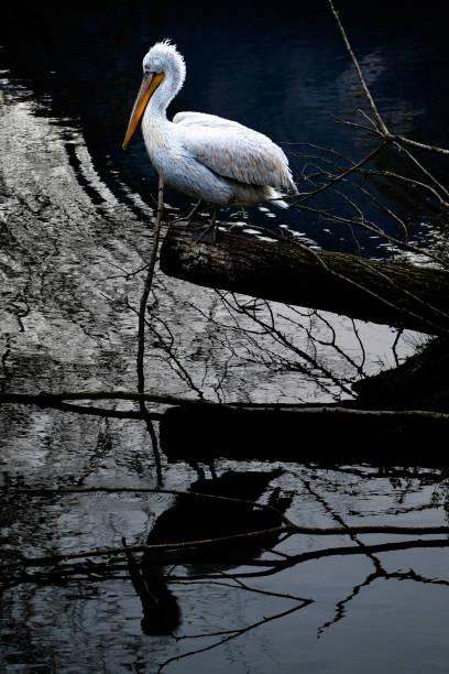 Pelikan, die sich auf einem See spiegeln – Foto