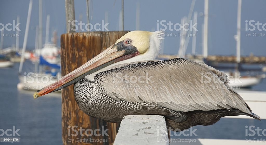Pelican resting on fence at pier stock photo