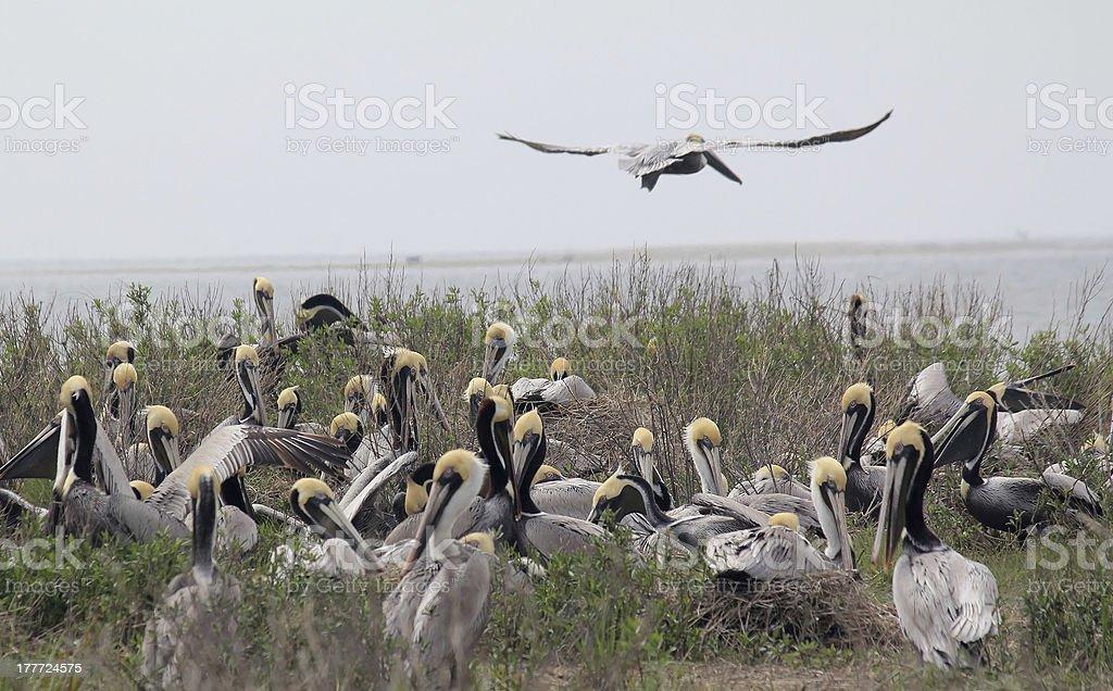 Pelican Rookery stock photo
