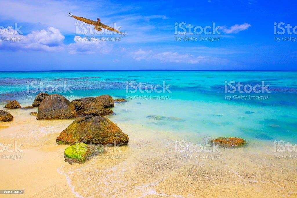 Pelican sea BIRD flying over idyllic tropical Beach in Aruba with turquoise blue lagoon, summer paradise – Dutch Antilles, Caribbean Blue sea stock photo