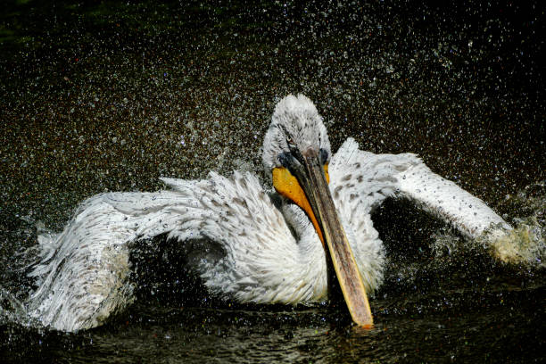 Pelican (Pelecanus onocrotalus) shaking water off feathers with flapping wings stock photo