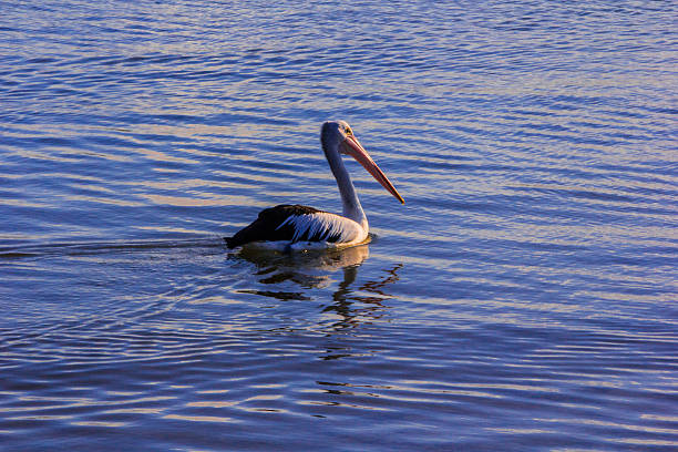 Pelican side on stock photo