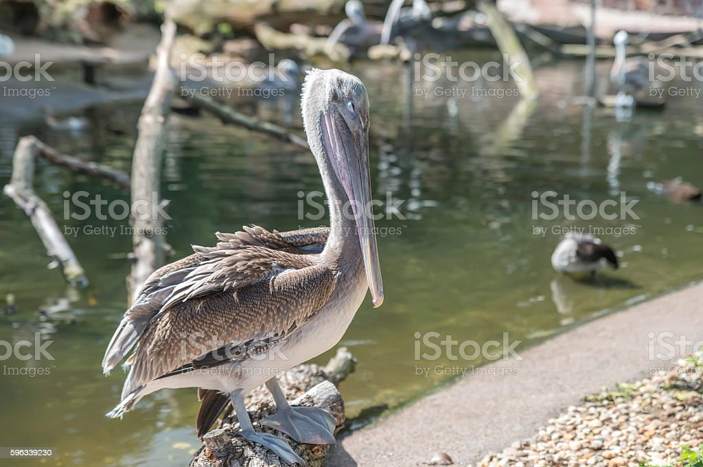 Pelican sitting on a log over the water royalty-free stock photo