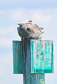 A pelican rests on a marker sign in the Gulf of Mexico on a beautiful sunny day