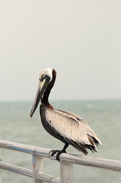 Pelican sitting on Florida Pier stock photo