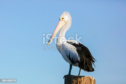 Pelican standing on wooden post against blue sky, full frame horizontal composition with copy space