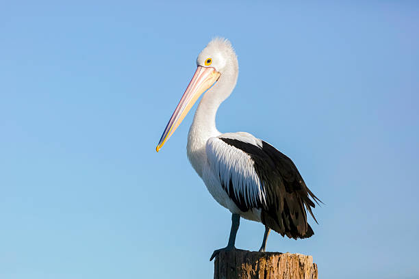 pelican standing on wooden post against blue sky, copy space - пеликан стоковые фото и изображения