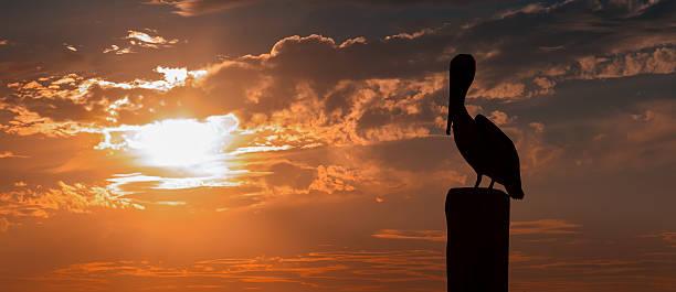пеликан закате - пеликан стоковые фото и изображения