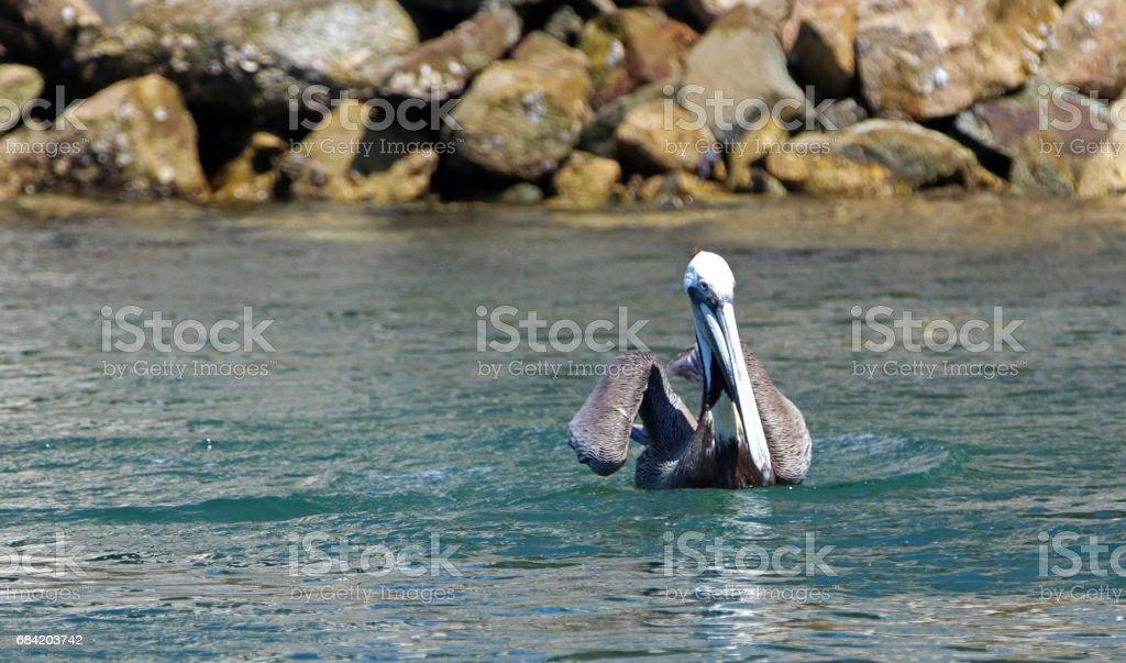 Pelican swimming in marina in Cabo San Lucas Baja Mexico BCS royalty-free stock photo