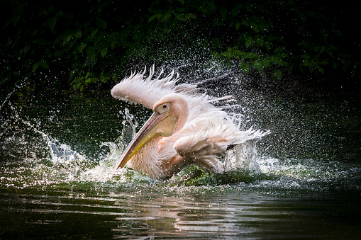 Close-up of Great white pelican on the water surface. Water splashes around him as he landing with outstretched wings. In the background is dense vegetation on the river bank in a shadow.