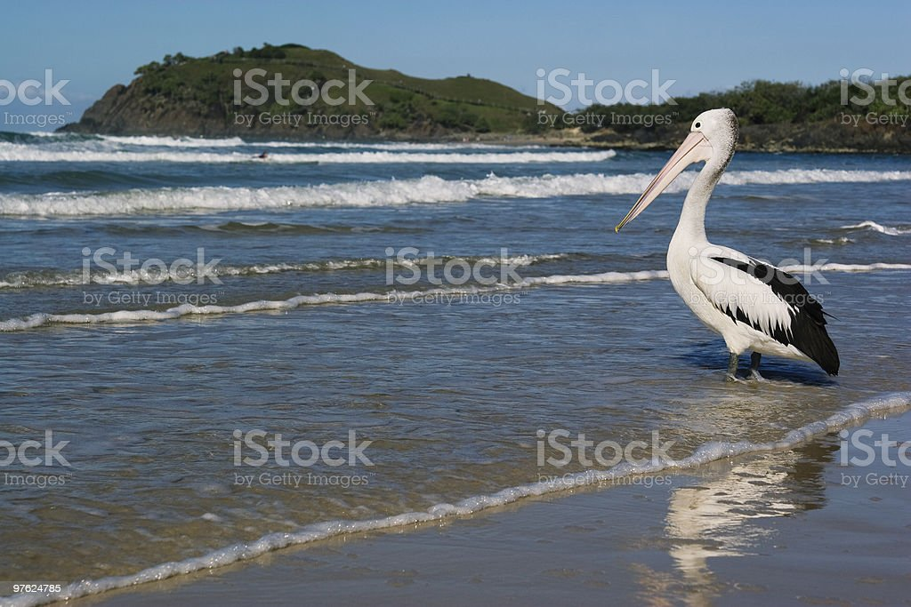 Pelican Wading royalty-free stock photo