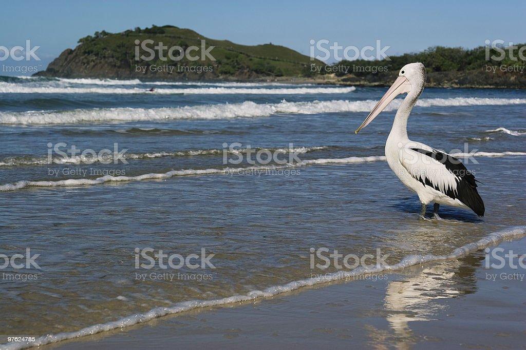 Pelican Marcher dans l'eau photo libre de droits
