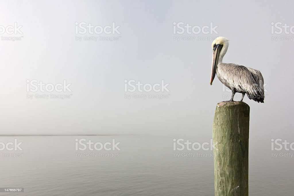 pelican with copy space royalty-free stock photo