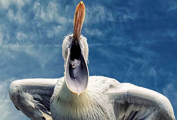 пеликан с открытой клювом против голубое небо - пеликан стоковые фото и изображения