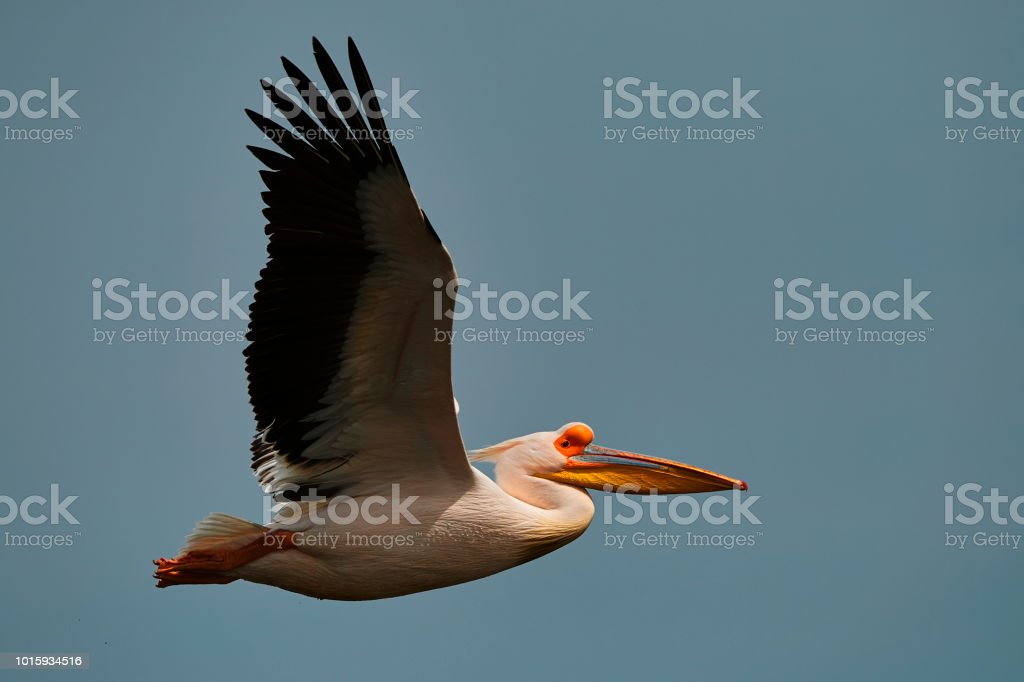 side view of pelican with spreaded wings flying, sky in background.