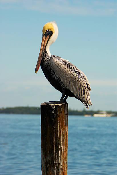 пеликан - 1 - пеликан стоковые фото и изображения